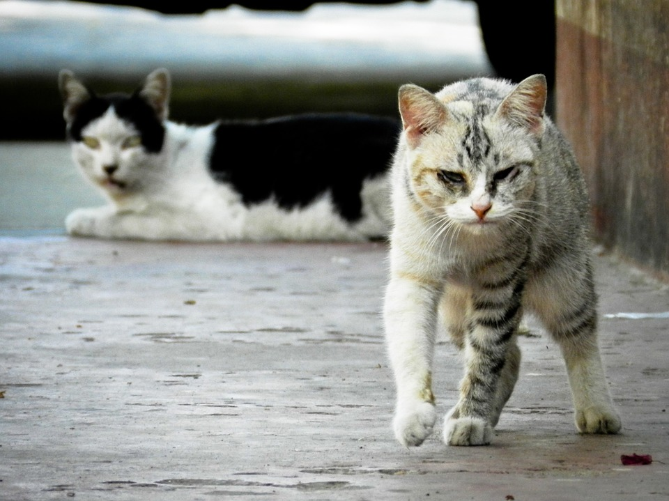 stray-cat-175733_960_720